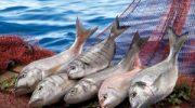 Türkiye'nin ihraç ettiği 4 balıktan 3'ünü Egeli balıkçılar gerçekleştirdi