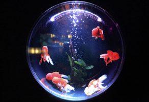 Fanusta balık nasıl beslenir?
