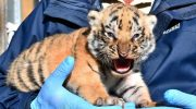 İzmir Doğal Yaşam Parkı'nda üç yavru kaplan daha doğdu