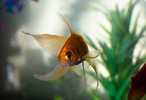 Japon Balığı Hakkında Bilgiler