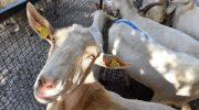 Koyun ve keçiler İzmir Büyükşehir Belediyesi'nden