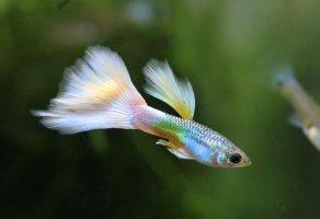Lepistes ile uyumlu yaşayan balıklar hangileri?