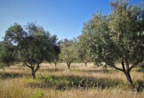 Bir dönüm zeytinlikte kaç zeytin ağacı olmalı?